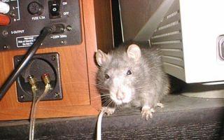 Как избавиться от мышей в гараже быстро и навсегда